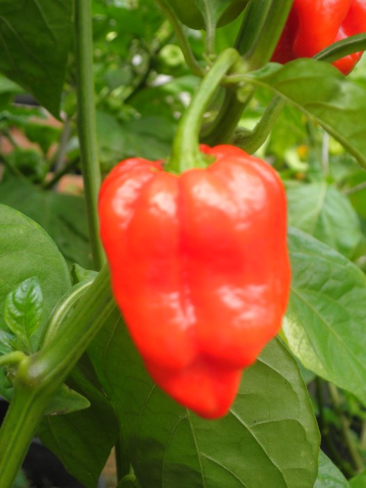 7pot/pod x Congo_red variant