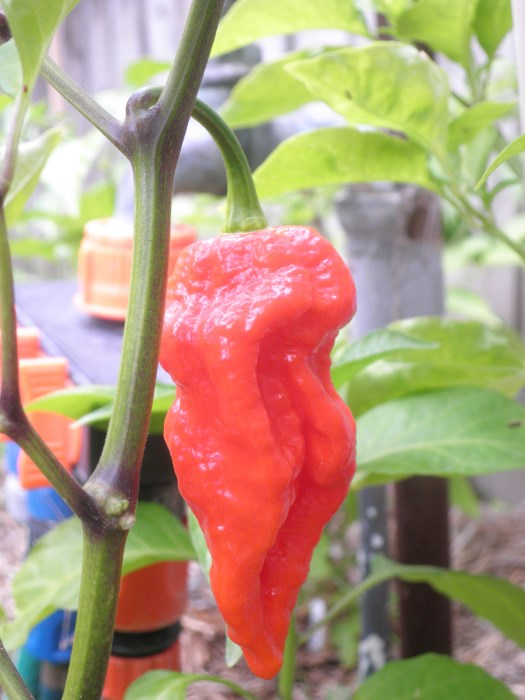 Bhut jolokia Assam Raja JR Strain red